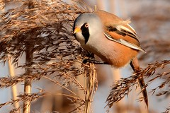HNS_9880 Baardmannetje : Panure a moustache : Panurus biarmicus : Bartmeise : Bearded Reedling