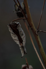 Gray Dead (Bloui) Tags: november autumn fall leaf branch montral gray deadleaves qubec botanicalgarden jardinbotanique 2015 eos7d