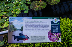 Kew Gardens - Cool-Growing Orchid House Water Lillies Information (Le Monde1) Tags: county flowers trees plants kewgardens house orchid london nikon richmond surrey unesco worldheritagesite research information horticulture waterlillies royalbotanicgardens tewkesbury kewpalace coolgrowing d7000 lemonde1 lordcapeljohn