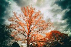 Flaming tree (DWO630) Tags: sunset red sky color tree clouds outside virginia oak bright kitlens richmond va nik brilliant rva mirrorless xtrans fujixt10