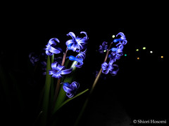 Hyacinthus orientalis (Shiori Hosomi) Tags: flowers plants japan night tokyo march nocturnal   hyacinthus 2016   asparagales asparagaceae  noctuary flowersinthenight noctivagant  23