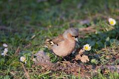 Fringuello (pentaxiano60) Tags: bird robin outdoor fringuello uccelo nikond300 passeraceo sigma150600f563sport