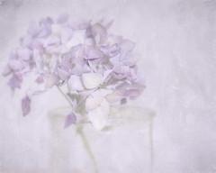 Hydrangea in glas pot (BirgittaSjostedt.) Tags: flower art texture beauty soft unique pastel pot romantic highkey softly photoborder magicunicornverybest birgittasjostedt