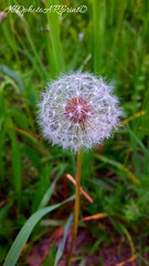 Make - A - Wish! (armuredecharme) Tags: dandelion photographs makeawish