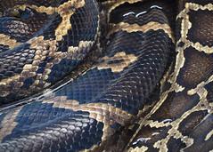 Burmese Python Skin (.annajane) Tags: animal zoo skin reptile snake scales sw python welshmountainzoo neidr pythonbivittatus swfynyddgymraeg