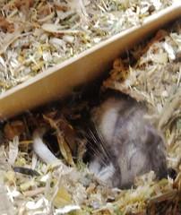 DSCN0825 sleeping soundly (therovingeye) Tags: pets gerbil rodents gerbilhabitat