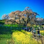 作業所から近いので、今日2016年4月15日(金)も福島県田村郡三春町の三春滝桜に来ました。今日1日風が強く滝桜は散り始めています。見頃は過ぎた感じですが、今週末の土日の花見はどうでしょうか?写真は今日夕方4時頃の三春滝桜です。 #snapseed thumbnail