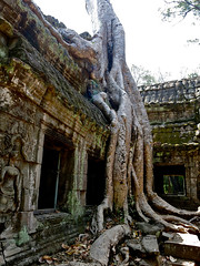 Gnarly Roots ! in Angkor Wat