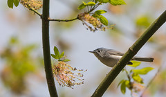 Busy Blue-gray Gnatcatchers (Bonnie Ott) Tags: daniels bluegraygnatcatcher polioptilacaerulea patapscovalleystatepark