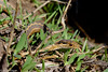 snake in the grass (brian eagar - very busy - not much time to comment) Tags: nature grass march utah spring reptile snake herp gartersnake thamnophis 2016 daviscounty gardensnake snakeinthegrass gardenersnake snakeingrass thamnophiselegans wanderinggartersnake thamnophiselegansvagrans utahnature utahwildlife utahsnakes utahreptile utahherp utahanimal