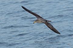 Puffin cendré (Tifaeris) Tags: bird oiseau corysshearwater calonectrisdiomedea procellariiformes puffincendré procellariidés