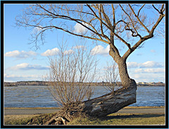 Happy Earth Day (bigbrowneyez) Tags: sky canada nature beautiful clouds river amazing nuvole dof quebec unique branches awesome ottawa fiume natura special cielo stunning fabulous striking albero ottawariver earthday gatineauhills acua uniquetree deschainesrapids storytellingtree