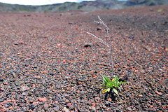 Trying to exist (Ji-) Tags: plant france reunion closeup plante landscape island solitude loneliness bokeh ngc indianocean fujifilm paysage fujinon vulcano cinder le larunion pitondelafournaise ocanindien scorie xt1 massifduvolcan xf16mmf14wr