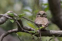_.jpg (Philippe Lécuyer) Tags: pakistan bird owl owlet spotted chevêche 180° canon 7dmarkii nature wildlife athenebrama canon7dmarkii oiseau avifauna spottedowlet islamabad margallas