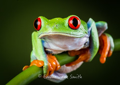 Reaching frog (emmadavidso) Tags: macro tree frog amazonian agalychniscallidryas redeyed