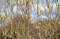 """Rideau de printemps (Brigitte ... """"Tatie Clic"""") Tags: mars nature fleur arbre printemps rideau chatons bourgeon moucharabieh aquitaine lotetgaronne sansretouche paysdeserres francesudouest 2016030832"""
