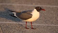 Laughing gull (anitabryk2) Tags: birds gulls laughinggull