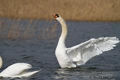 Mute swan (Matt Hazleton) Tags: bird reed nature animal canon eos swan outdoor wildlife northamptonshire 7d 100400mm muteswan cygnusolor canon100400mm canoneos7d summerleys matthazleton