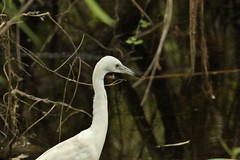 Little Blue Heron, Immature*Lifer (OrlandParkBirdieGirl) Tags: blue white bird heron little florida center swamp blair immature phase corkscrew sanctuary audubon caerulea egretta