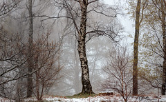 The Silver Birch (Dave Massey Photography) Tags: trees mist snow forest woodland moody lakedistrict cumbria fells silverbirch