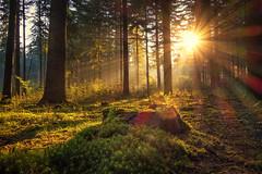 Waldlicht (Christian Wilmes) Tags: morning trees light fog forest sunrise licht nebel sony rays sunrays sonne wald bume sonnenaufgang morgen dsc strahlen brstel rx100