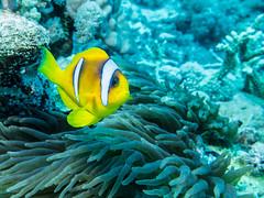IMG_0882 (eye[4]eye) Tags: egypt diving gypten tauchen bluewaves