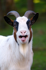Laughing Goat (Michael Eickelmann) Tags: portrait animals laughing tiere funny dof bokeh wildlife goat ziege lustig lachen wildpark grimase grimasse snoot
