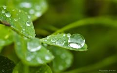 Morning Dew (C h r i s - F.) Tags: macro up closeup nikon close filter dew 6t nikor d7000 753000