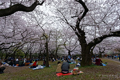 20160405-052-Picnics under Yoyogi-koen cherry blossoms (Roger T Wong) Tags: travel people holiday japan garden balloons tokyo spring picnic crowd harajuku cherryblossoms canonef1740mmf4lusm yoyogikoen 2016 canon1740f4l canoneos6d rogertwong