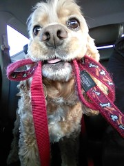 Going for a drive to the lake. (Denise Trocio (D Trocio Photography)) Tags: dog car lucky leash cockerspaniel luckycharm