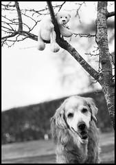 Nick and Lille Knut (fotografier/images) Tags: bear leica dog pet tree animal goldenretriever garden toy golden nick plum retriever 100mm dogtoy knut icebear plumtree leicas summicrons littledoglaughedstories summicrons100mm littledoglaughednoiret lilleknut