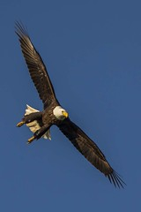 BALD EAGLE, BROOKVILLE, INDIANA (nsxbirder) Tags: flight baldeagle indiana haliaeetusleucocephalus brookville whitewaterriver franklincounty leveeroad