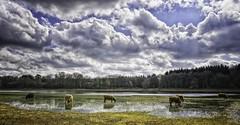 A herd of Highlander cows..
