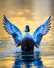 Angel duck :-) (h3172010) Tags: toronto canada highpark