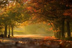MistyAutumn Blackheath-1 (robinmoon) Tags: autumn winter light sunlight mist leaves fog golden foliage