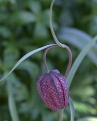 Checkered Lily (KsCattails) Tags: flower bulb spring nikon pattern lily purple kansas checkered perennial jccc fritillaria d7000 kscattails