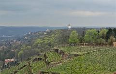 Weinberge | Vineyards - Radebeul, Sachsen (Andr-DD) Tags: nature germany deutschland vineyard spring view saxony natur sachsen wein frhling weinberg weinberge radebeul
