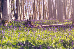 Shallow Bluebells! (~g@ry~ (clevedon-clarks)) Tags: uk trees england sunlight mist bluebells forest woodland spring woods bokeh f14 85mm sunrays cheddar bluebellwood woodlandfloor