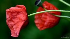 1-DSC_2407 marilena's soul poppies (profmarilena) Tags: red macro closeup rainyday soul poppies papaveri sigma150 nikond810