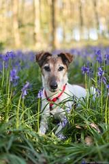 Alliath (Morgane_W) Tags: dog chien animal bluebells smooth des terrier fox poil jacinthes forêt bois lisse nikond7100