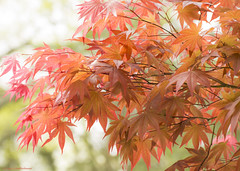 Delicate With Notes of Boldness (Tracy Schuffenhauer) Tags: nashville japanesemaple cheekwood
