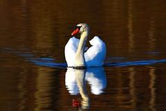 Morning Swan (Photos By JM) Tags: highpark