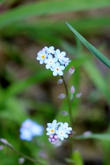 Forget Me Not (shutterbusterbob) Tags: flowers blue wild plant flower green nature grass yellow canon eos washington petals small petal pacificnorthwest forgetmenot wildflowers washingtonstate wildflower canoneos skagitvalley skagitcounty 70d northwestwashington eoscanon canoneos70d canon70d eos70d
