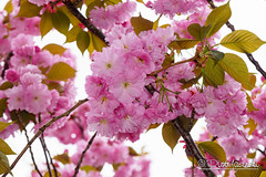 Cherry Blossom (Karlgoro1) Tags: camera new york city flowers plant flower tree digital lens cherry t bright blossom outdoor pastel sony e alpha za f4 oss variotessar mirrorless a6300 1670mm sel1670z variotessart41670 ilce6300