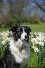 Pops in the daffodils (Keartona) Tags: dog sunshine spring sunny poppy bordercollie daffodils sheffieldbotanicalgardens daffs