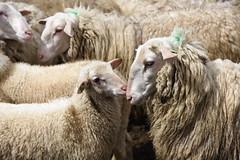 Love you mama <3 (Pics4life.nl) Tags: love hug child mother nederland ede lamb lam schaapskooi