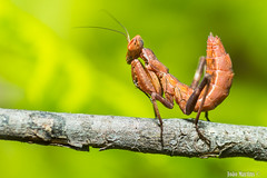Mantis (joaomartins_77) Tags: macro canon mantis 50mm sigma junior 60d