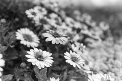 Margeritas (35mm film) (Cristo Bolaos) Tags: blackandwhite flower blancoynegro film analog 35mm grey outdoor flor grain sheets 150 f90 35mmfilm sheet rodinal rodinal150 filmisnotdead nikonf90 kentmere400