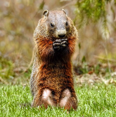 I am so VERY sorry .... about that hole in your lawn .... (Walkuere123) Tags: animal mammal outdoor groundhog rodents sciuridae marmotas nagetiere marmotamonax roedores murmeltiere waldmurmeltier marmotacanadiense nikoncoolpixp900