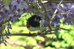 Towhee in the wisteria (nanila) Tags: bird spring pacificnorthwest wisteria towhee